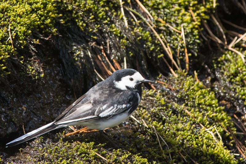 Pied Wagtail on the moss and algae at the water's edge.